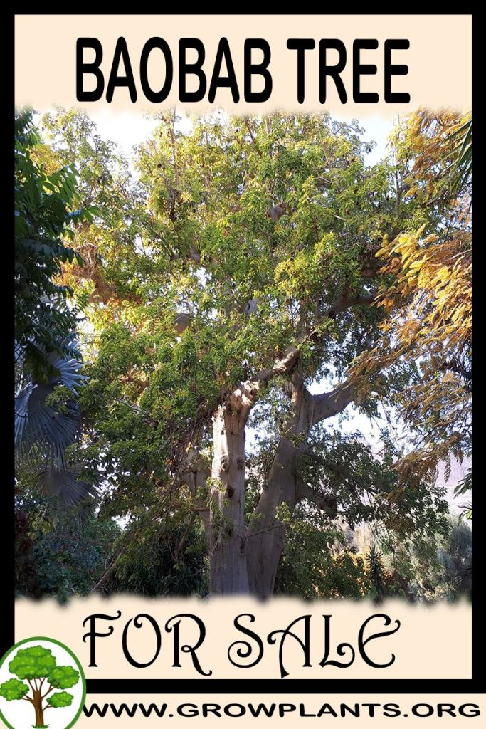 Baobab tree for sale
