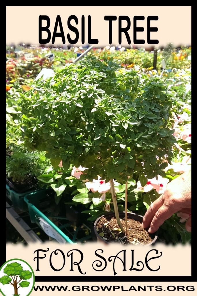 Basil tree for sale