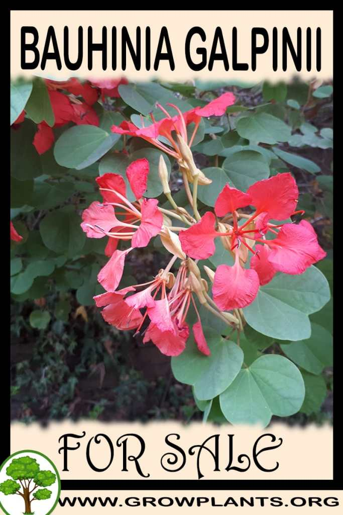 Bauhinia galpinii for sale