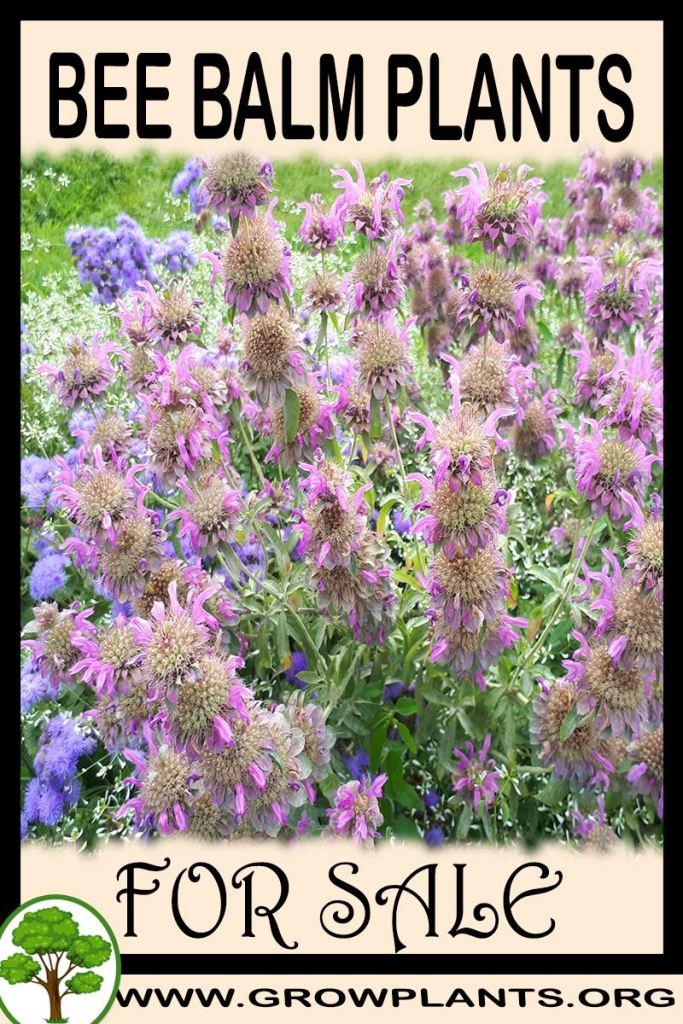 Bee balm plants for sale
