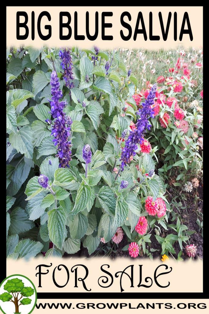 Big Blue Salvia for sale