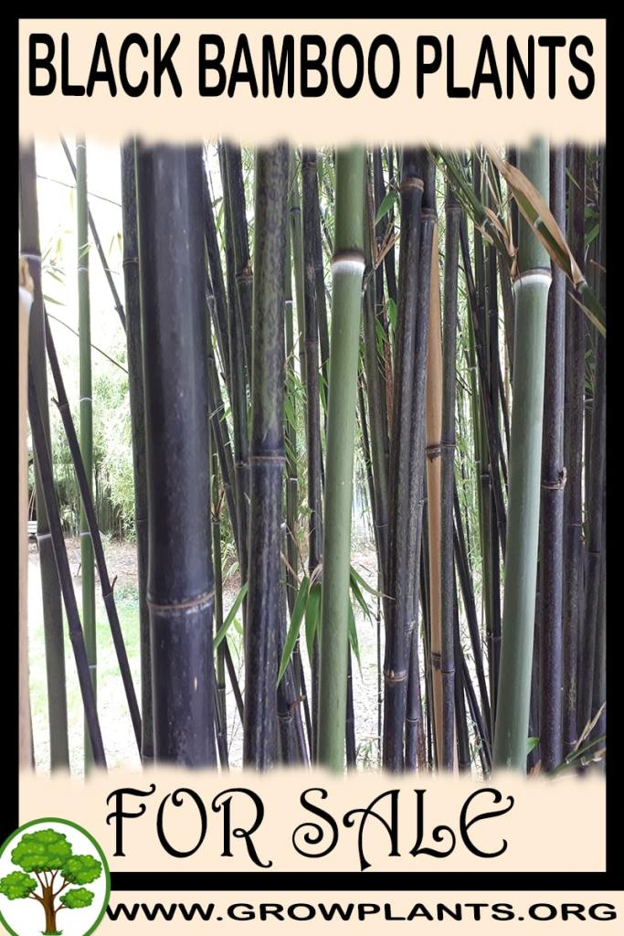 Black bamboo plants for sale