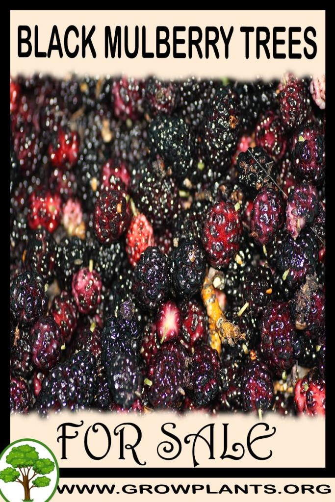 Black mulberry trees for sale