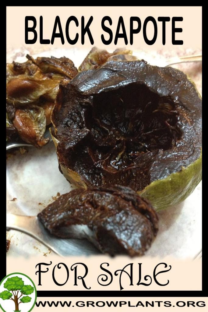 Black sapote for sale