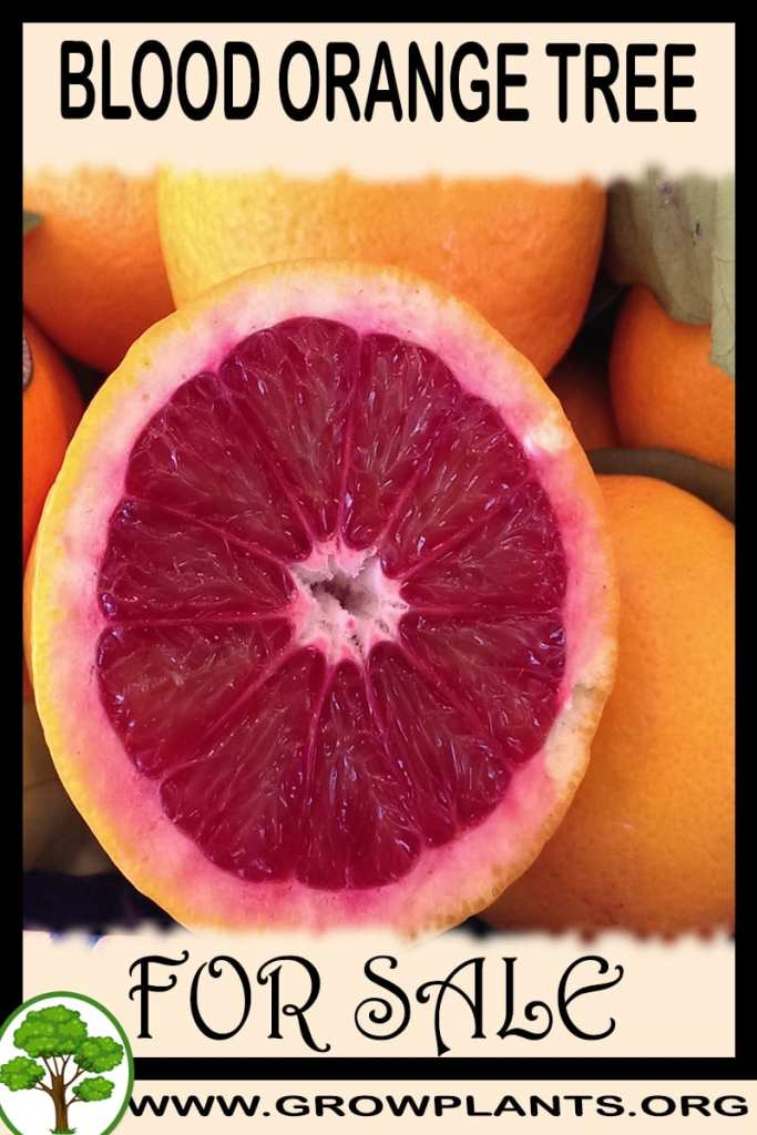 Blood orange tree for sale