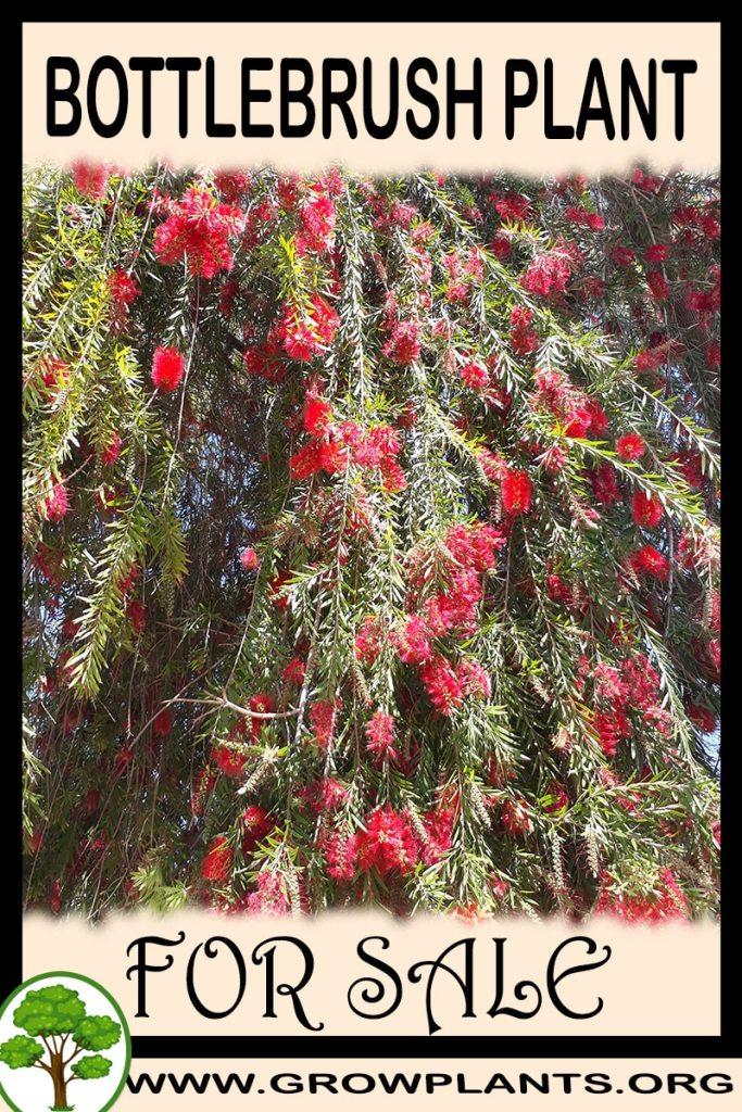 Bottlebrush plant for sale