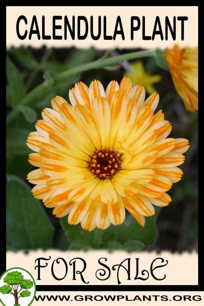 Calendula plant for sale