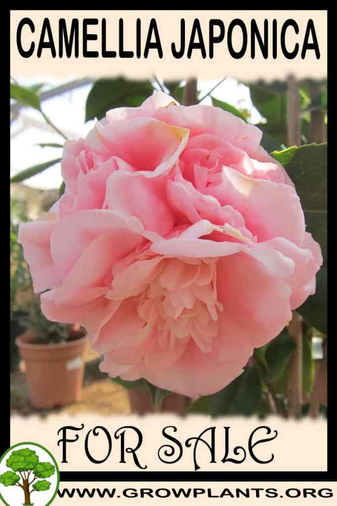 Camellia japonica for sale