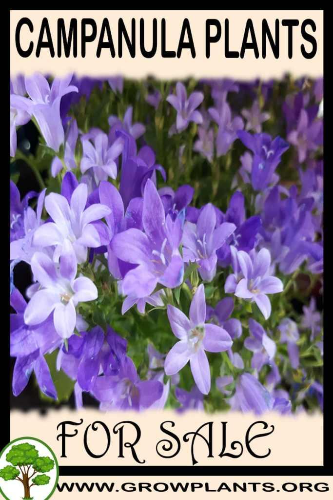 Campanula plants for sale