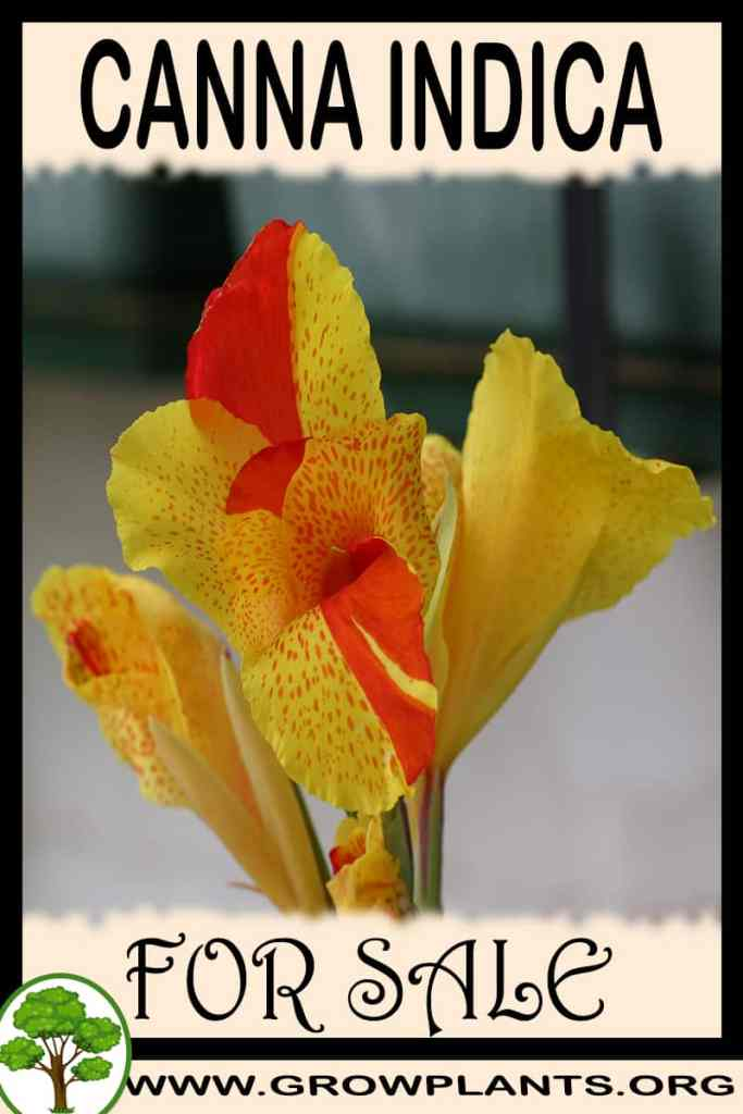 Canna indica for sale
