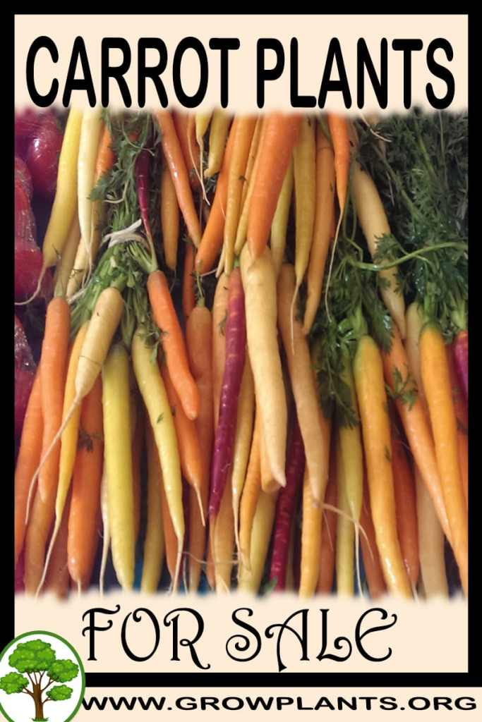 Carrot plants for sale