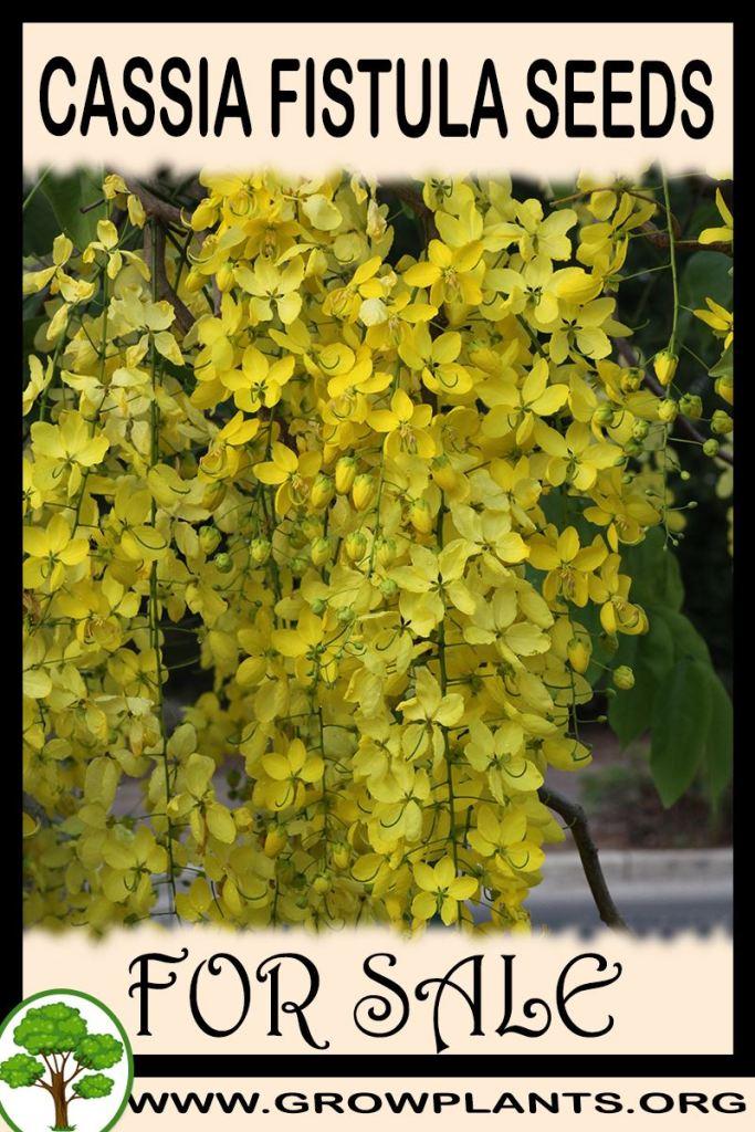 Cassia fistula seeds for sale