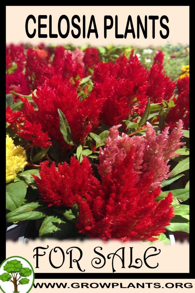 Celosia plants for sale