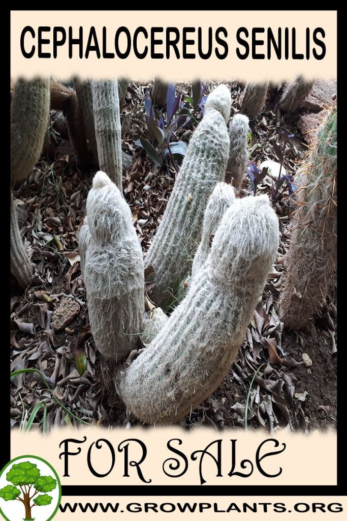 Cephalocereus senilis for sale