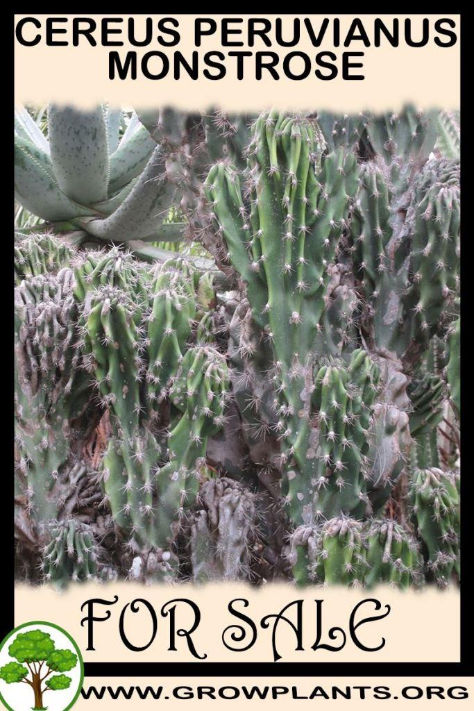 Cereus peruvianus monstrose for sale