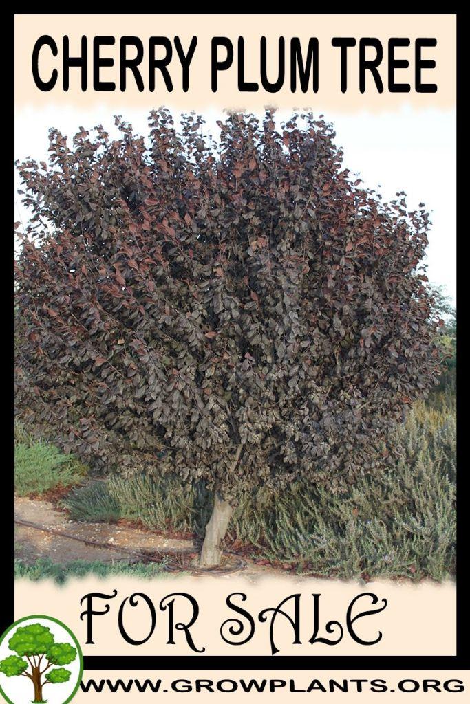 Cherry plum tree for sale