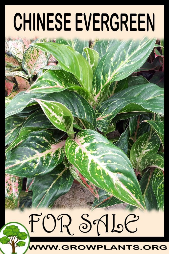 Chinese evergreen plant for sale