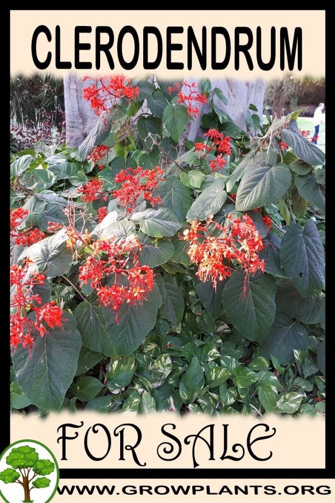 Clerodendrum for sale