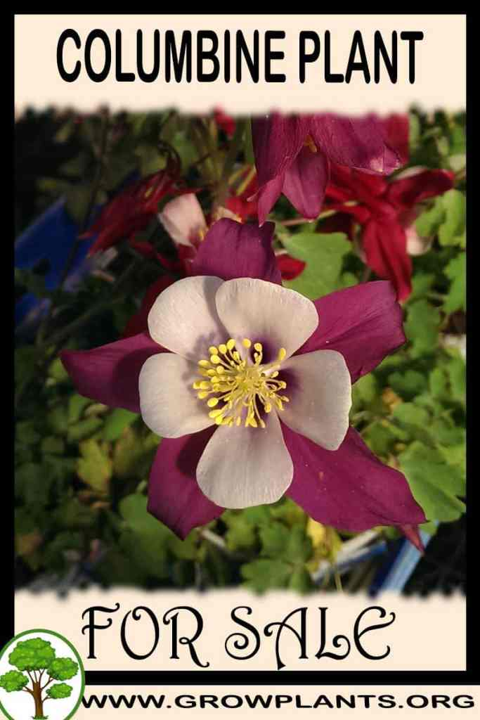 Columbine plant for sale