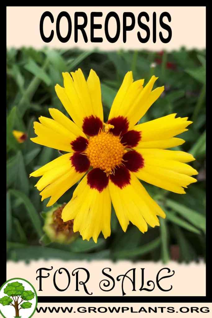 Coreopsis for sale
