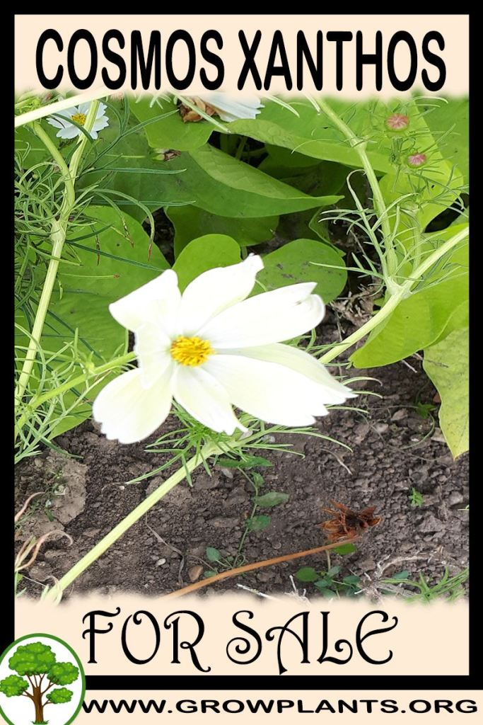 Cosmos xanthos for sale