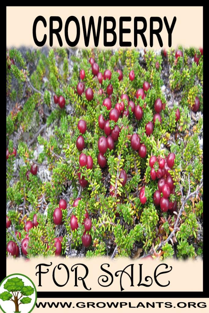 Crowberry for sale