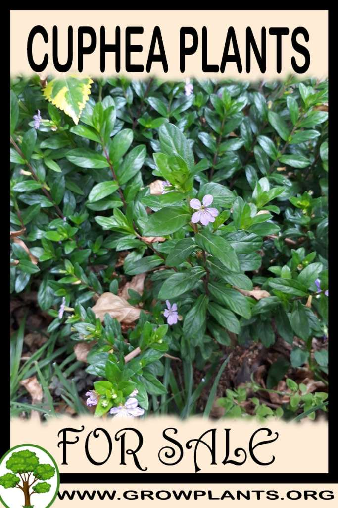 Cuphea plants for sale