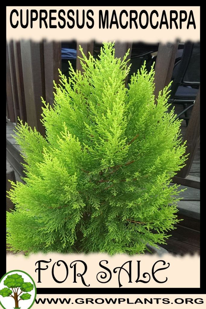 Cupressus macrocarpa for sale