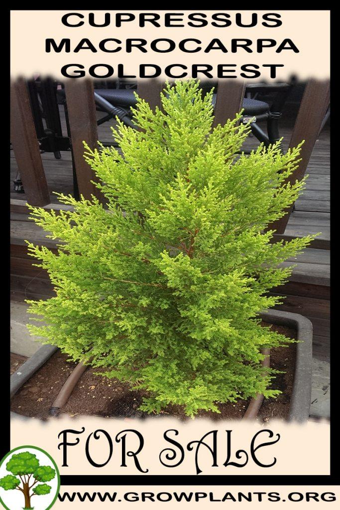 Cupressus macrocarpa goldcrest for sale