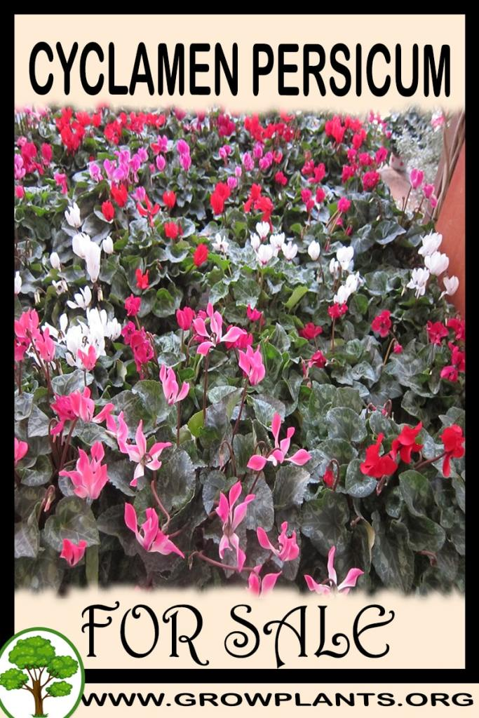 Cyclamen persicum for sale