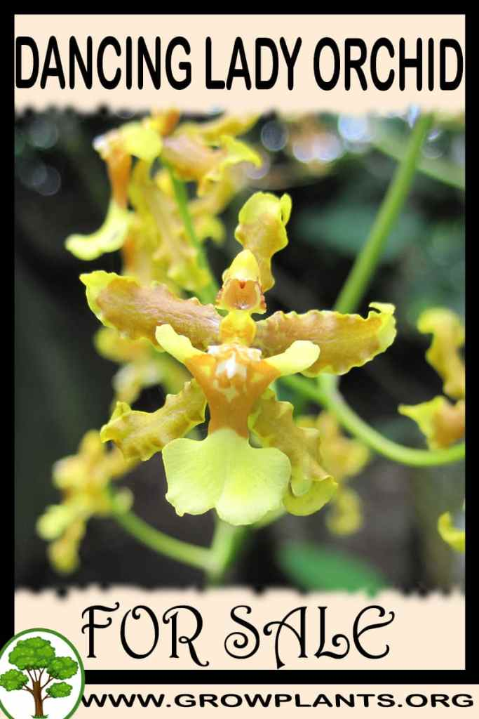 Dancing lady orchids for sale