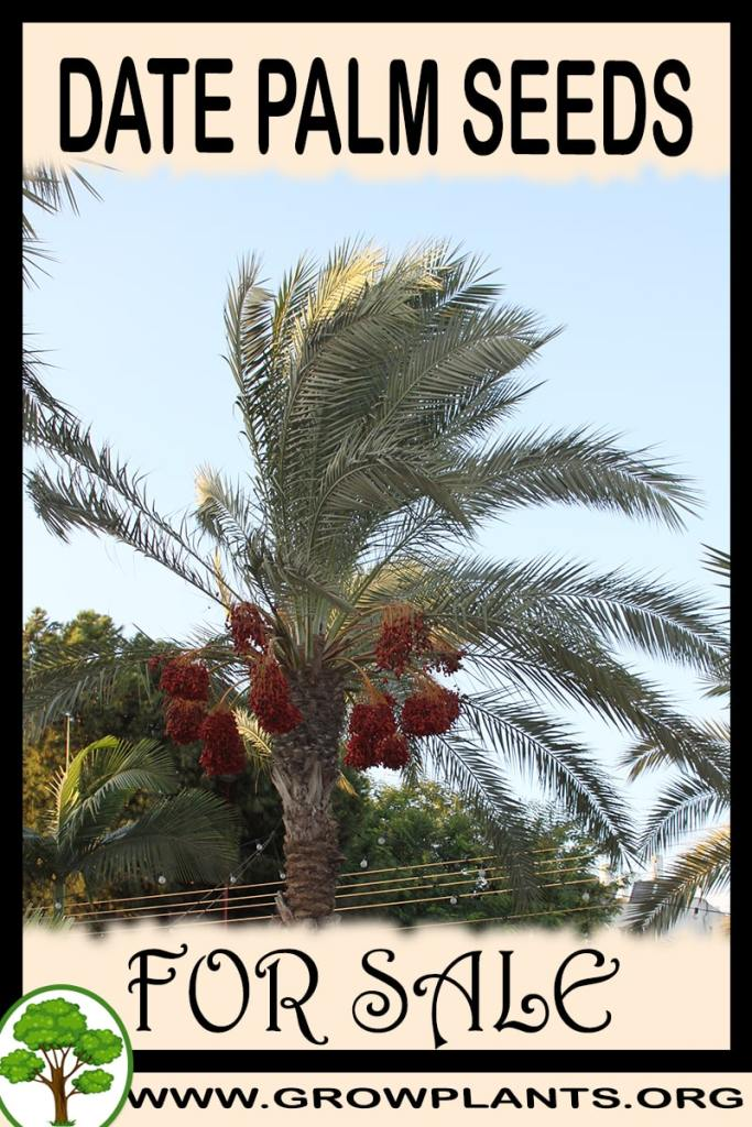 Date palm seeds for sale