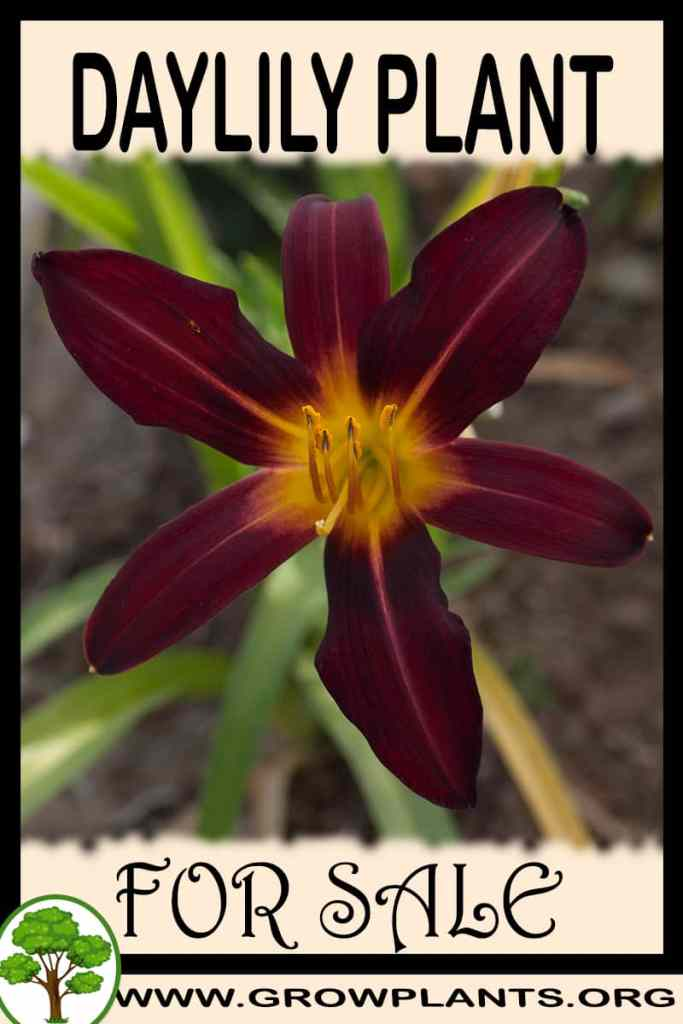 Daylily for sale
