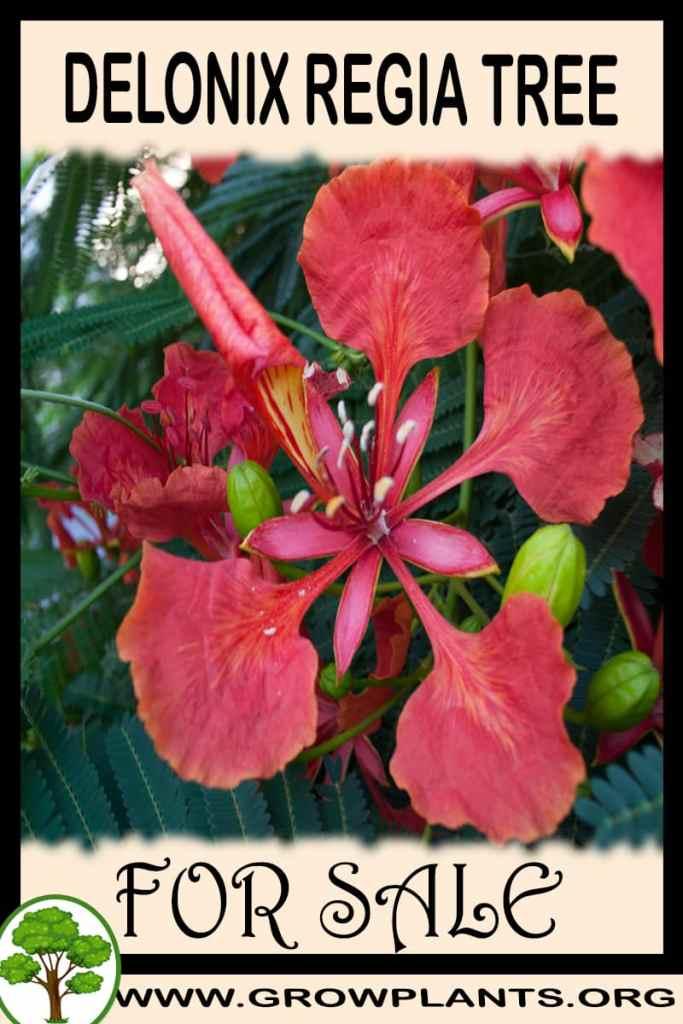 Delonix regia tree for sale