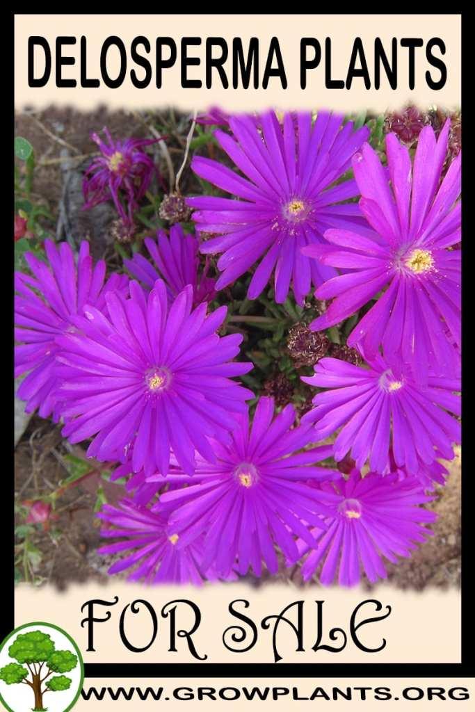 Delosperma plants for sale