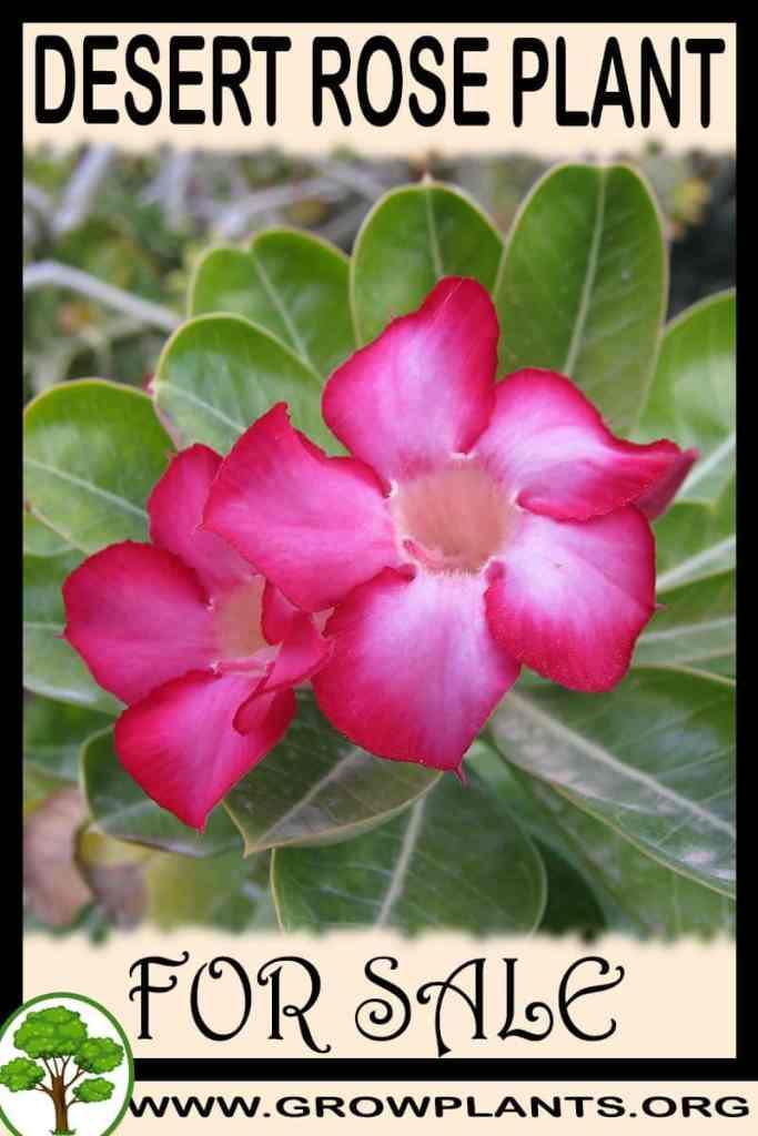 Desert rose plant for sale