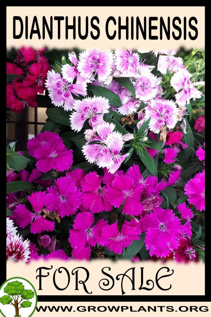 Dianthus chinensis for sale