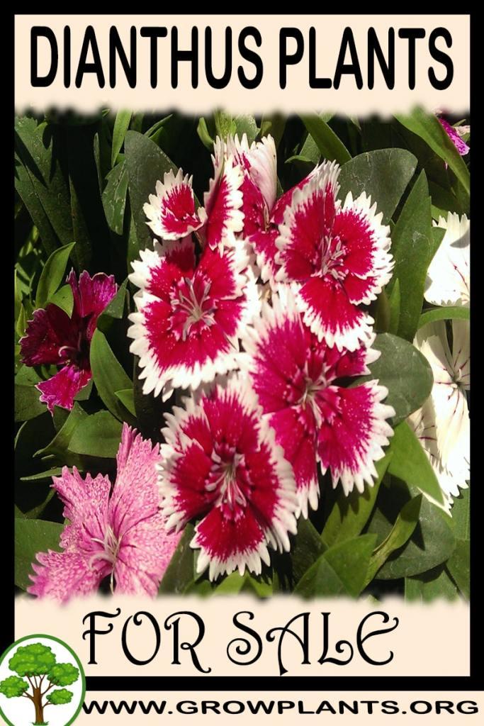 Dianthus plants for sale