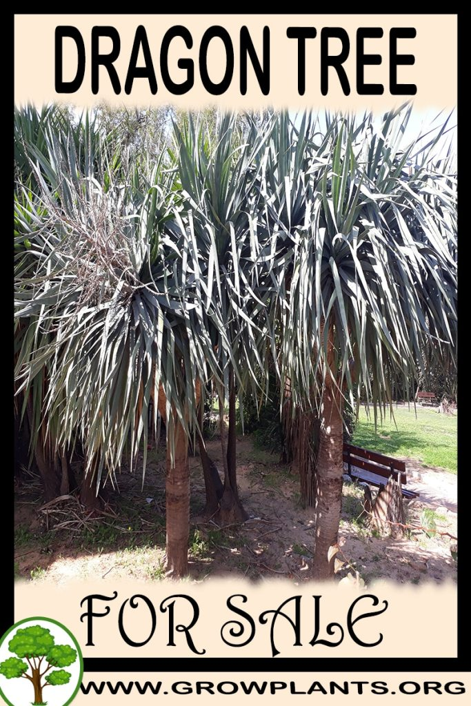 Dragon tree for sale