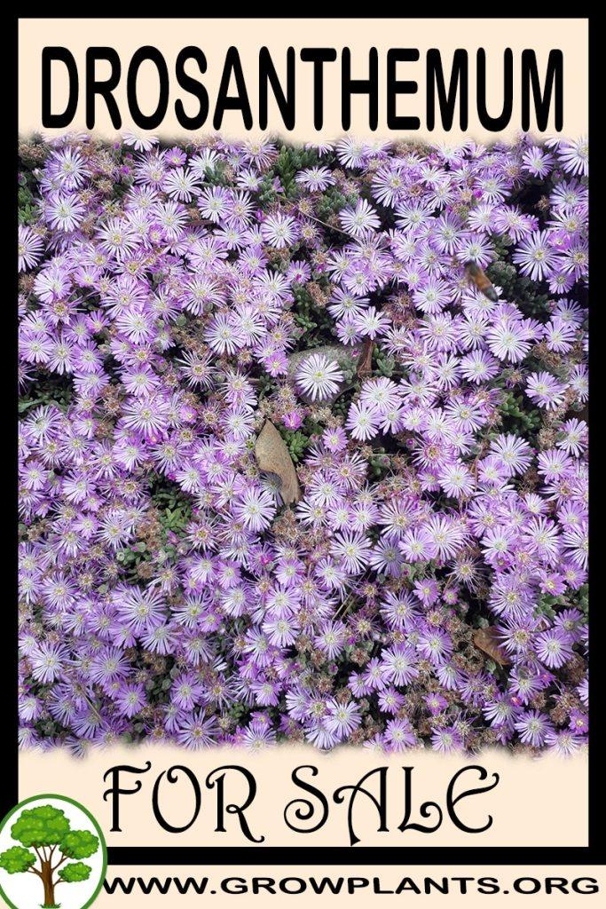 Drosanthemum for sale