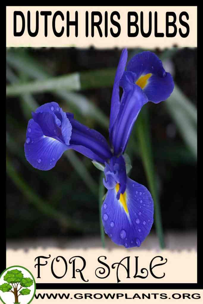 Dutch iris bulbs for sale