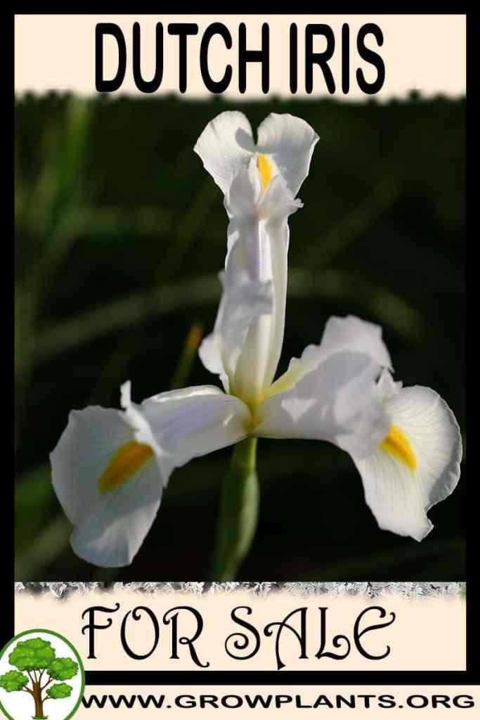 Dutch iris for sale