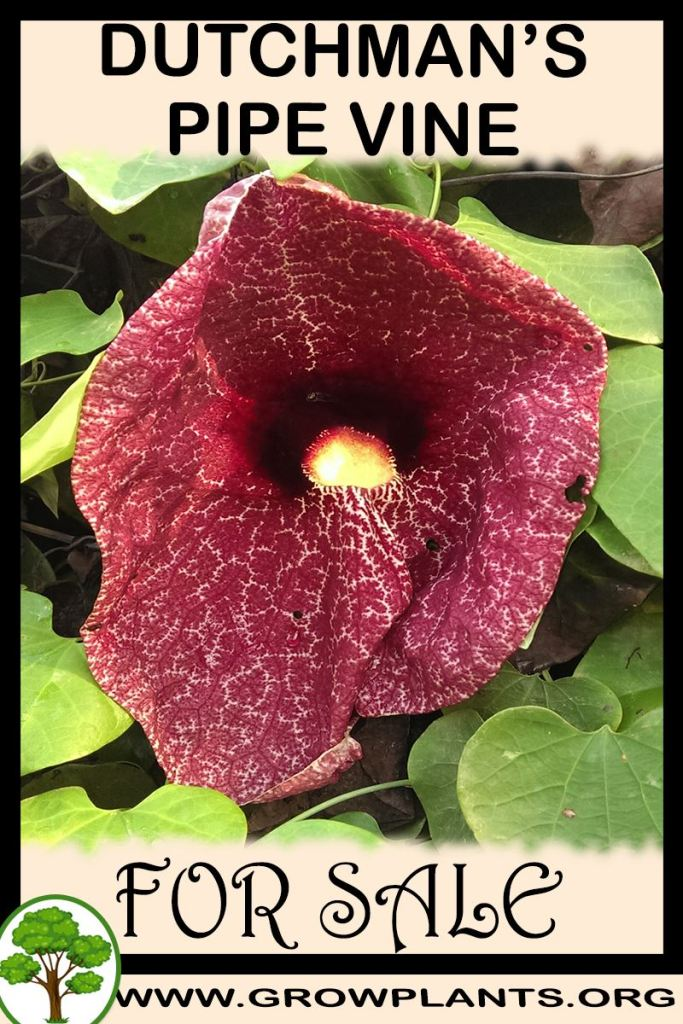 Dutchman's pipe vine for sale