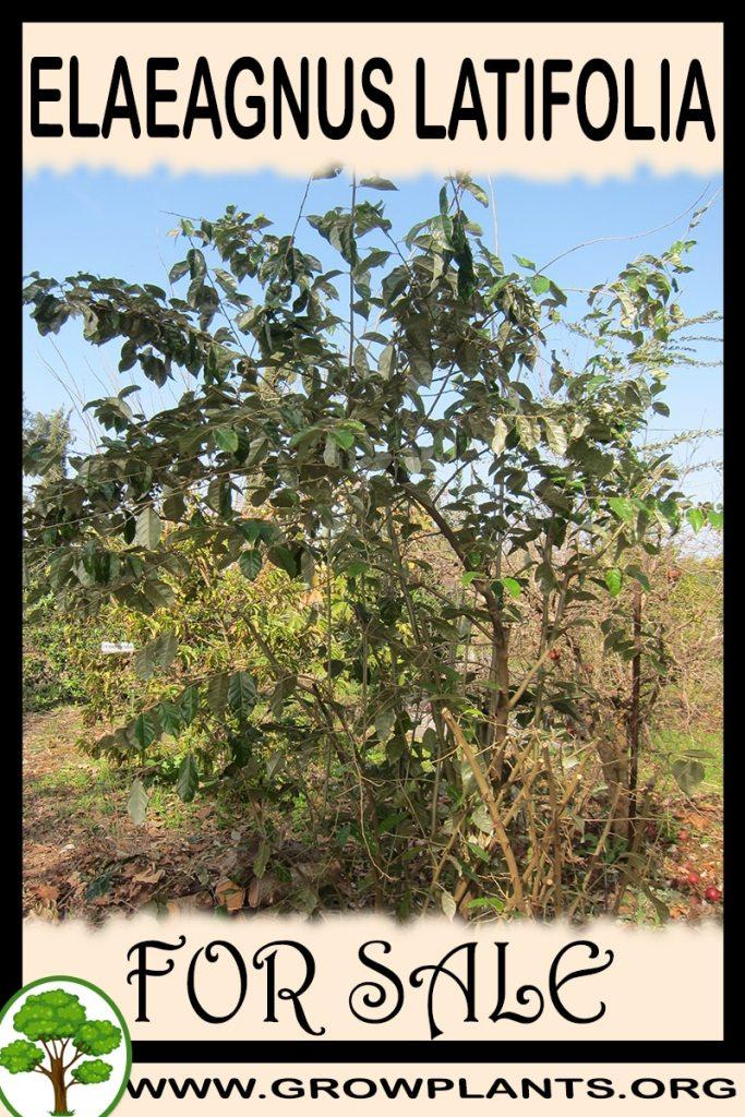 Elaeagnus latifolia for sale