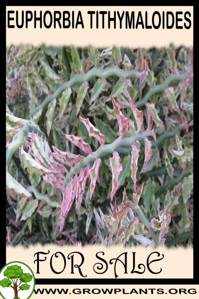 Euphorbia tithymaloides for sale