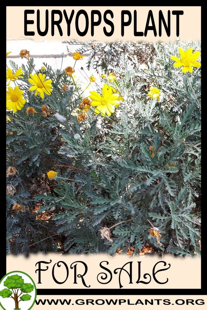 Euryops for sale