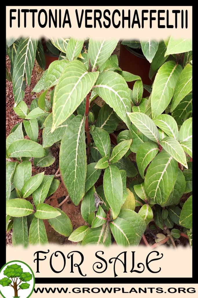 Fittonia verschaffeltii for sale