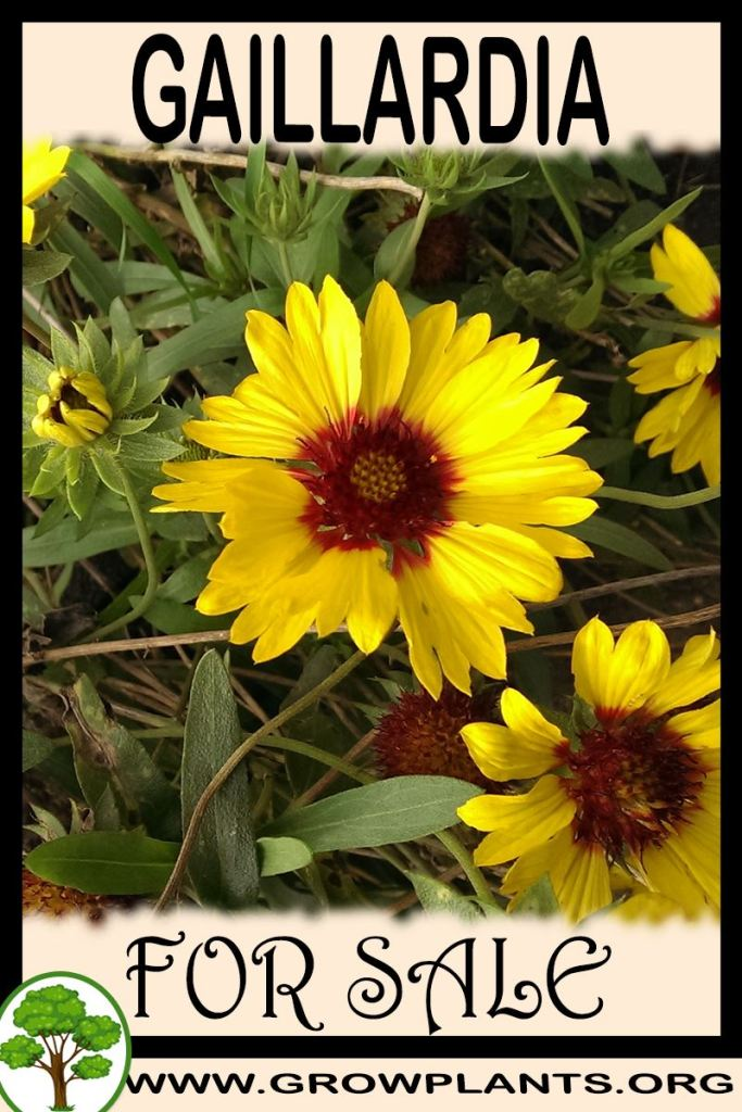 Gaillardia for sale