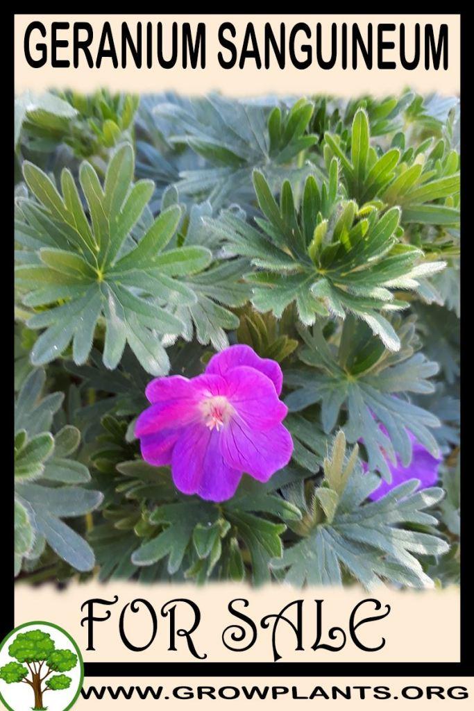 Geranium sanguineum for sale
