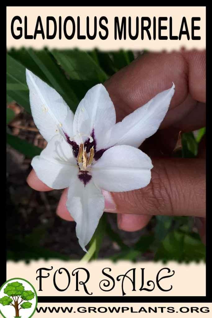Gladiolus murielae for sale